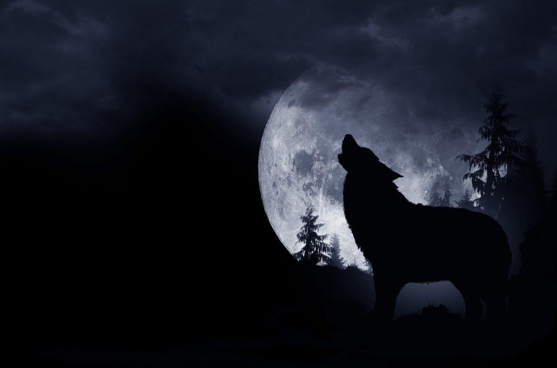 Wilk zwany Romeo