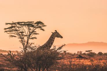 Żyrafa w Kenii