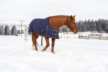 Koń okryty derką na zimę