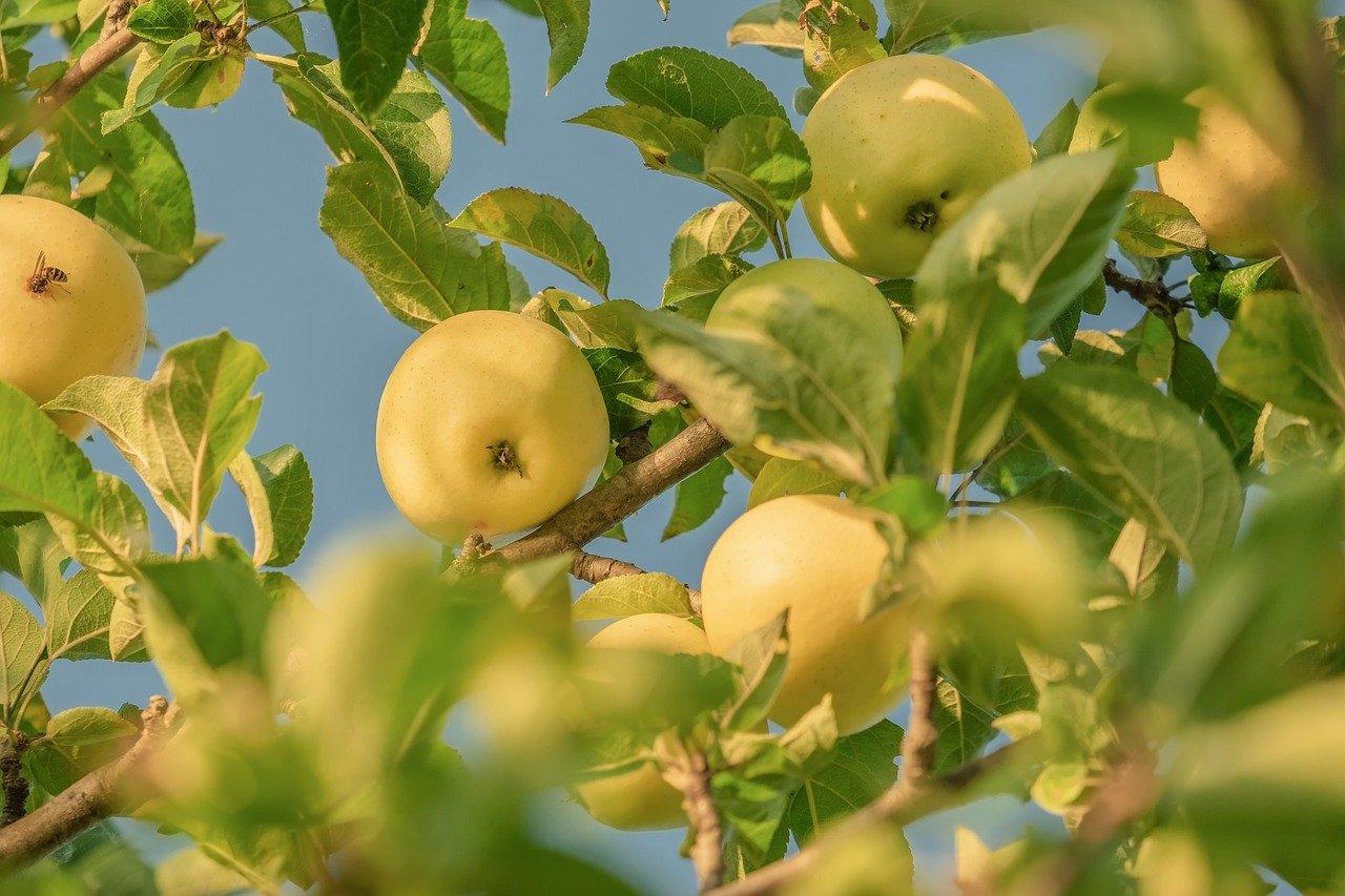 Jabłka w ogrodzie