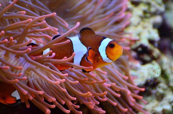 blazebek rybka w akwarium domowym
