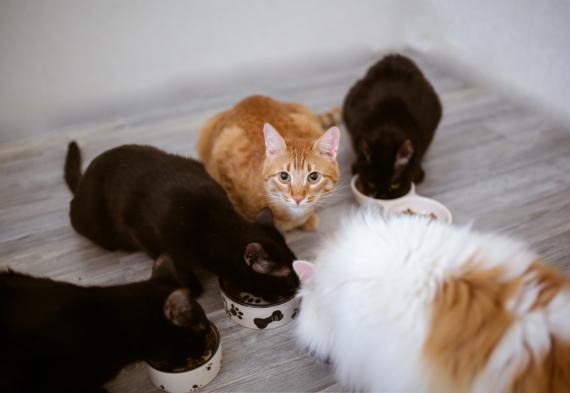 koty jedzące karmę z misek