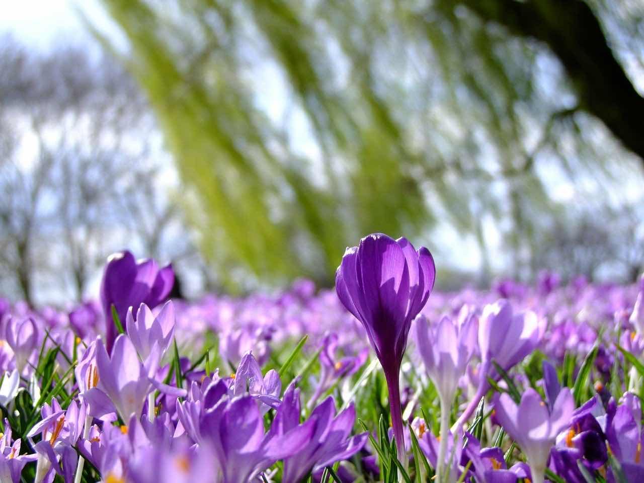 jesienne kwiaty cebulowe
