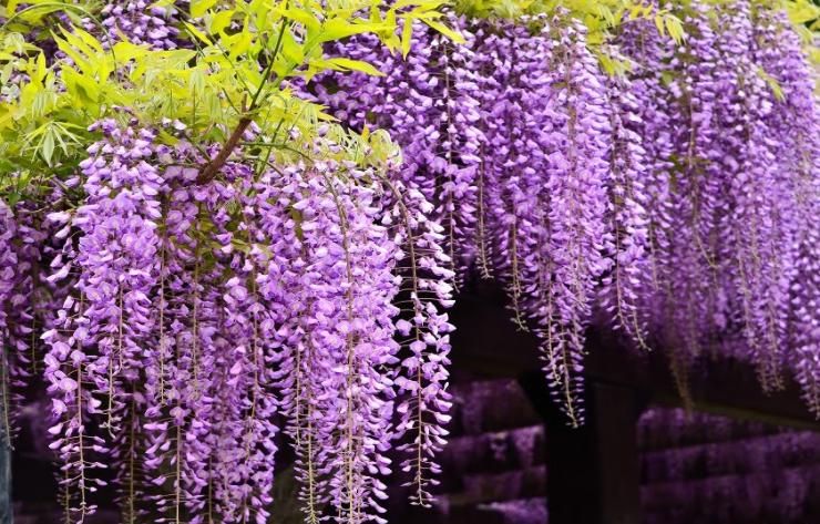 wisteria w ogrodzie