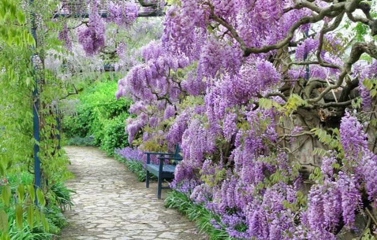 wisteria fioletowa