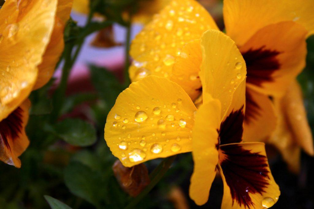 Żółte bratki zroszone kroplami deszczu